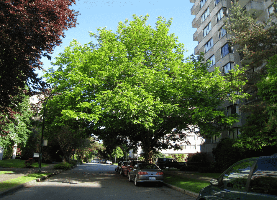 Photo Credit: A Mature Caucasian Wingnut ( Scientific Name: Pterocarya fraxinifolia) on the corner of Comox &Chilco by Wendy Cutler via Flickr (CC BY SA, 2.0 License)