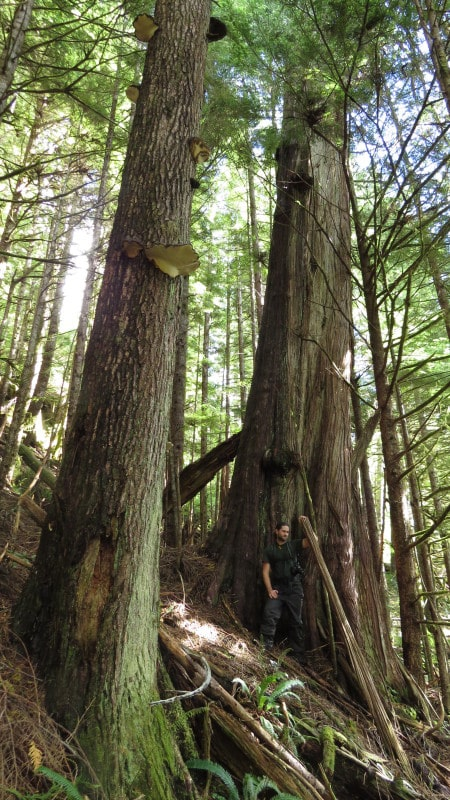 Old-growth trees in Black Diamond Grove, part of the recently-approved cutblock in the central Walbran Valley. (Credit: Torrance Coste)