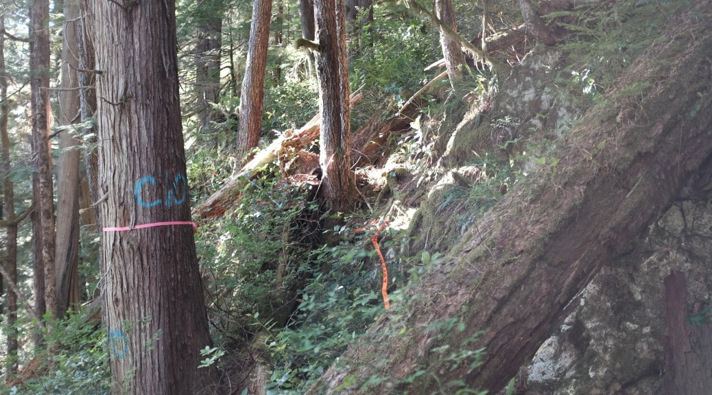 Photo - Old-growth redcedar in cutblock 4424 - Courtesy Wilderness Committee