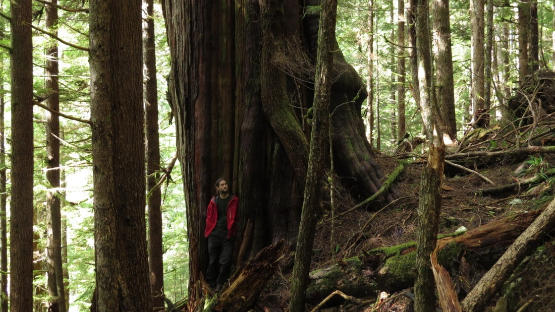 "The ""Leaning Tower Cedar"" – old-growth redcedar tree in Black Diamond Grove, within the recently approved cutblock. (Credit: Torrance Coste)"