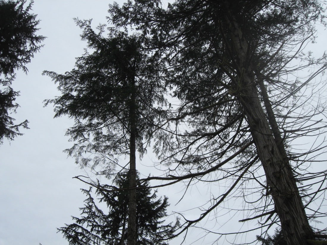 Looking upwards in after the logging is finished - Roy L Hales photo