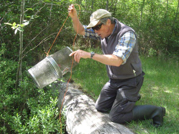 Dec Robinson checking a live traps in Hanson's creek - Roy L Hales photo