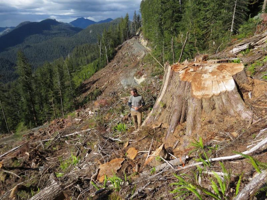 Wilderness Committee campaigner Torrance Coste in a fresh Teal Jones clearcut in the Walbran Valley, with the intact Central Walbran in the background. (Emily Hoffpauir)