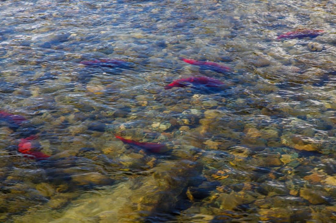 Salmon run @ Roderick Haig-Brown Provincial Park by Norton Ip via Flickr (CC BY SA, 2.0 License)