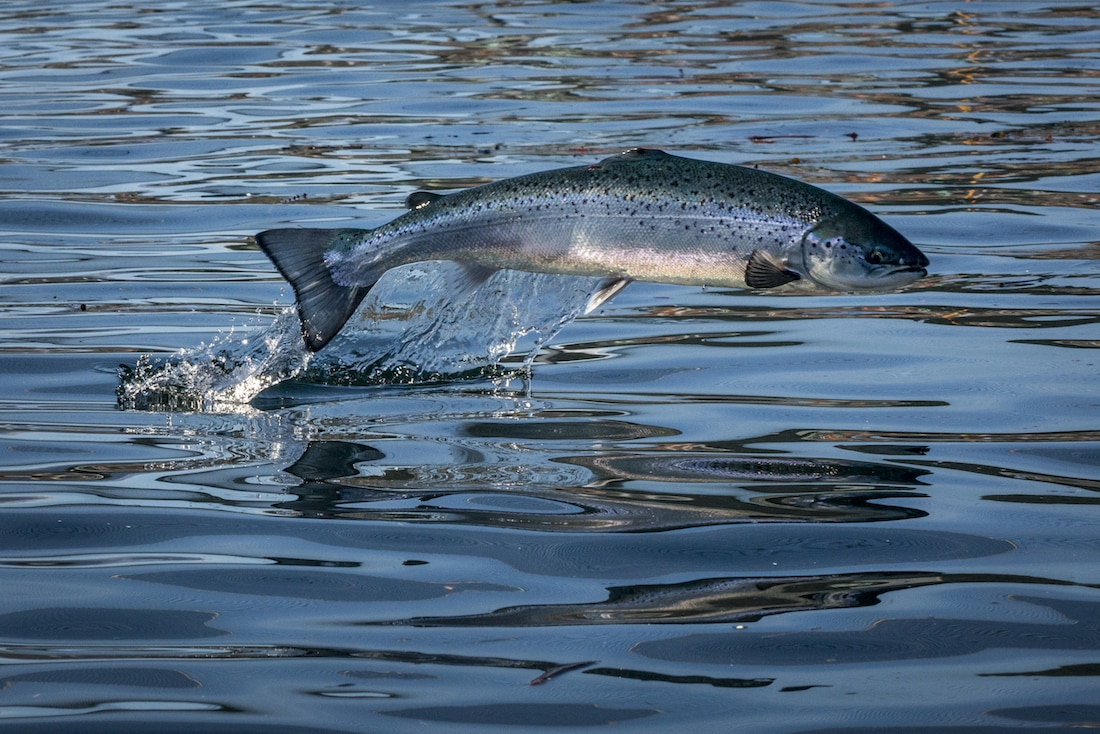 A nice picture of fish jumping from Marine Harvest Canada, you can see my attempts in the slideshow above