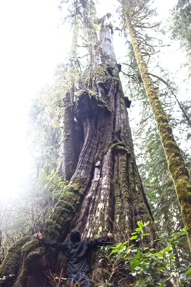 Old growth tree in the Walbran Valley - Photo by Ali Harris, courtesy the Wilderness Committee