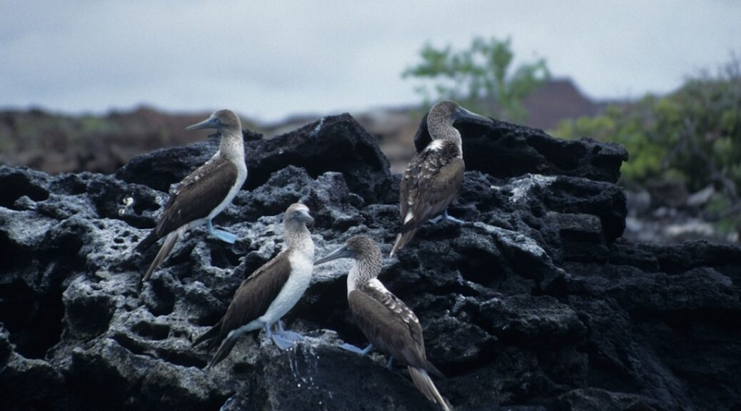 Barry & Amanda Glickman saw the Blue Footed Booby on Galapagos