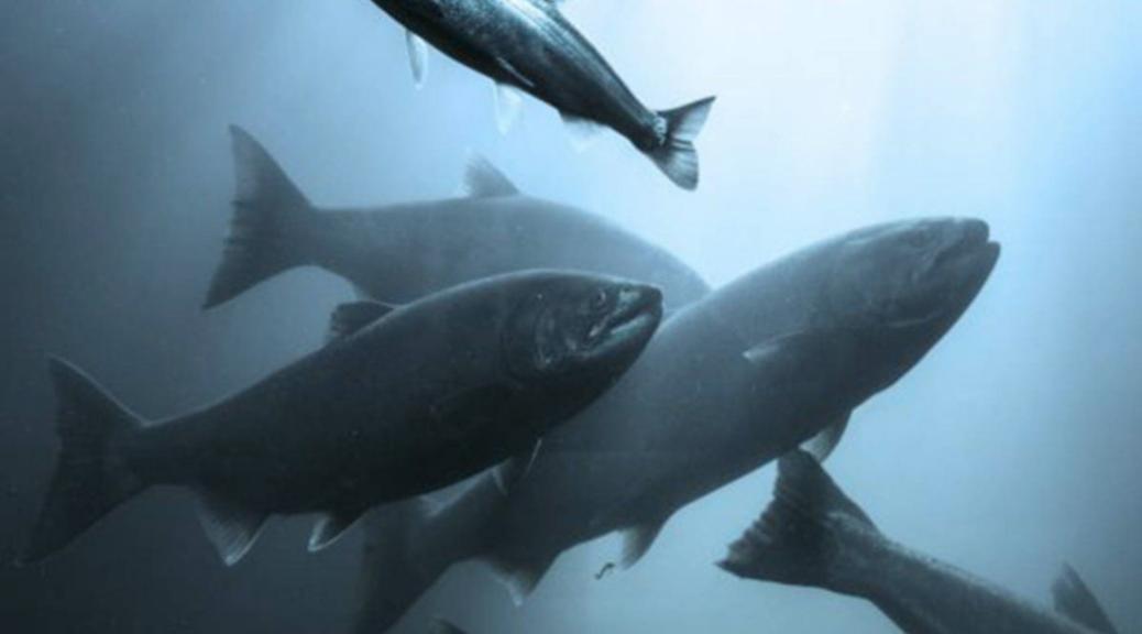Cermaq provides fish smolts to Kuterra