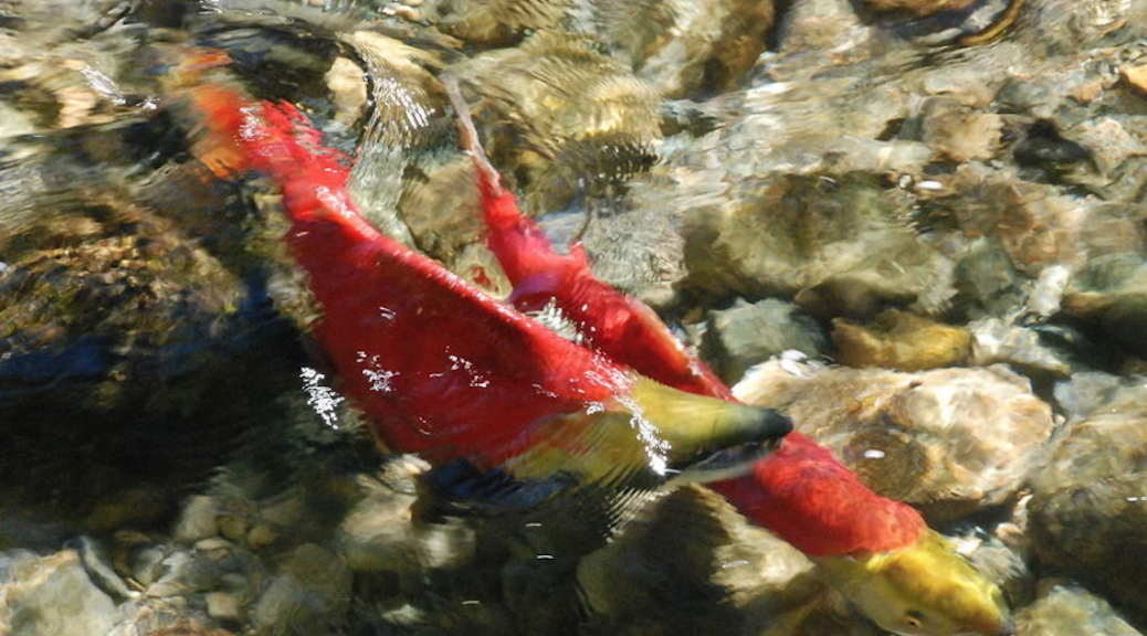 Pacific salmon explorer