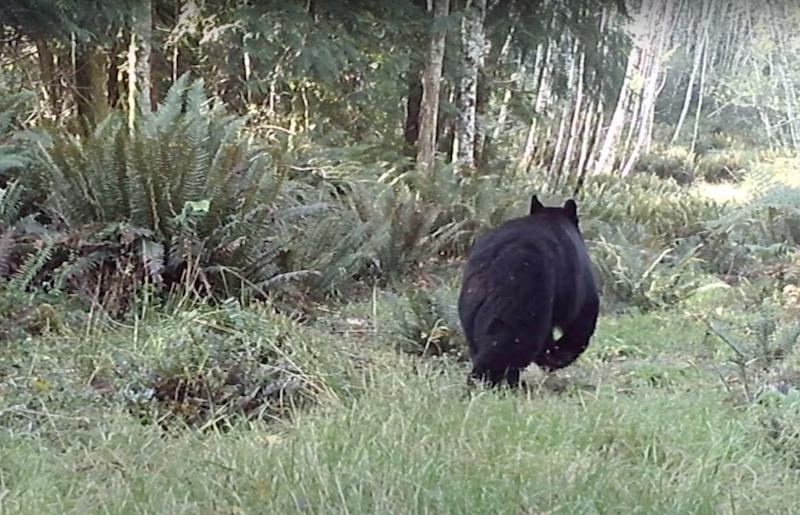 A black bear runs in the woods on a web camera screenshot.