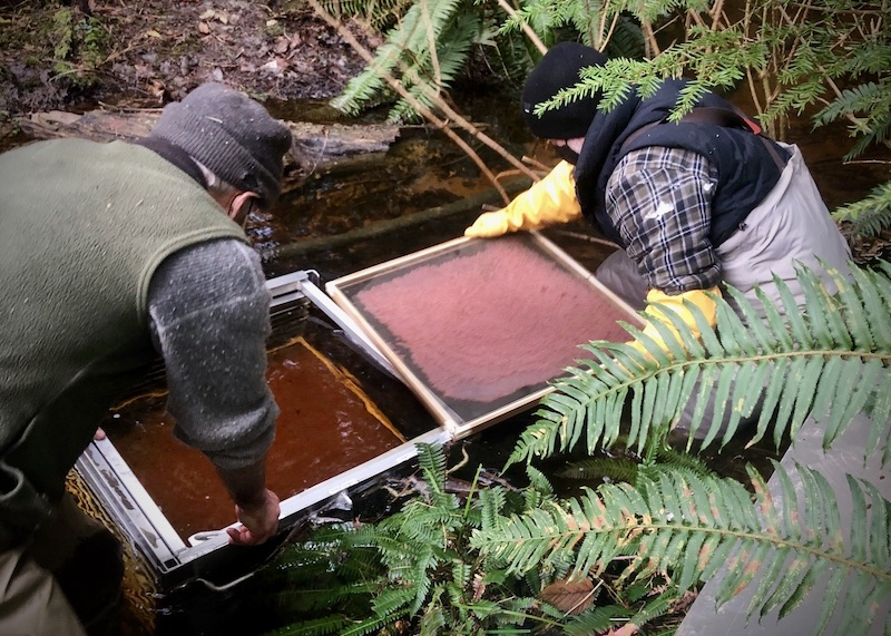 rebuilding salmon stocks on Cortes Island