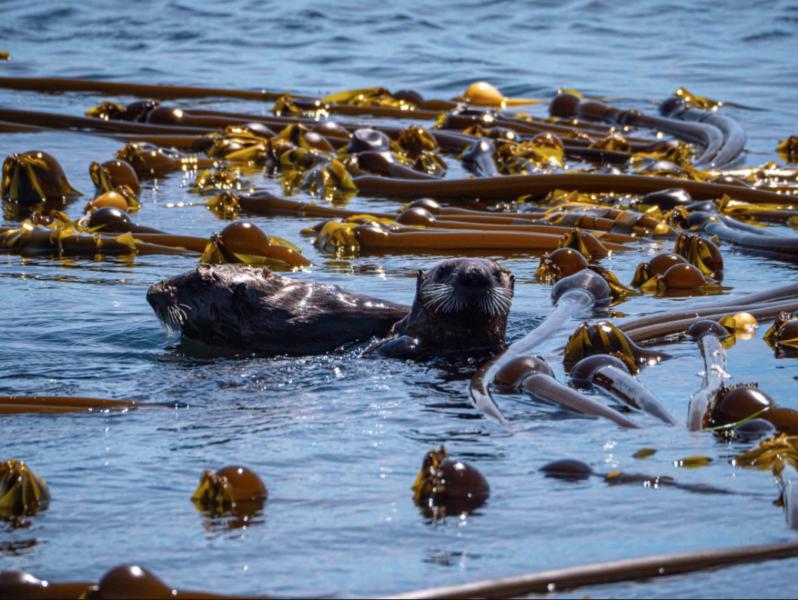 BCs Kelp beds