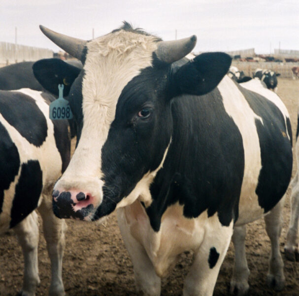 Can BC seaweed cut reduce cow burps?