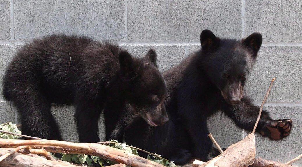 Black bear cubs Athena and Jordan