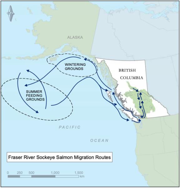 Sockeye Salmon Migration routes