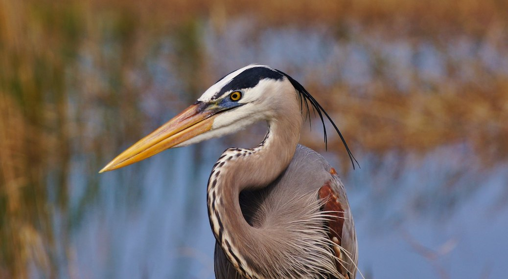 Species at Risk: Great Blue Heron