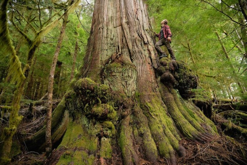 environmental issues: old growth logging.