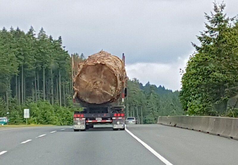 Photo of massive Sitka Spruce