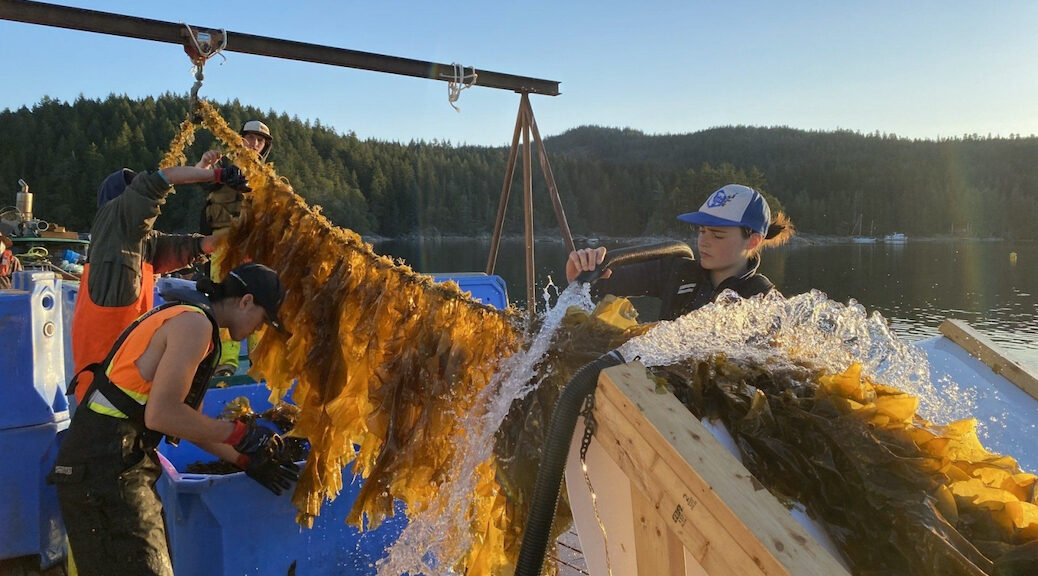 A crew harvests the Klahoose First Nation's first kelp crop from the waters off Cortes Island, B.C.