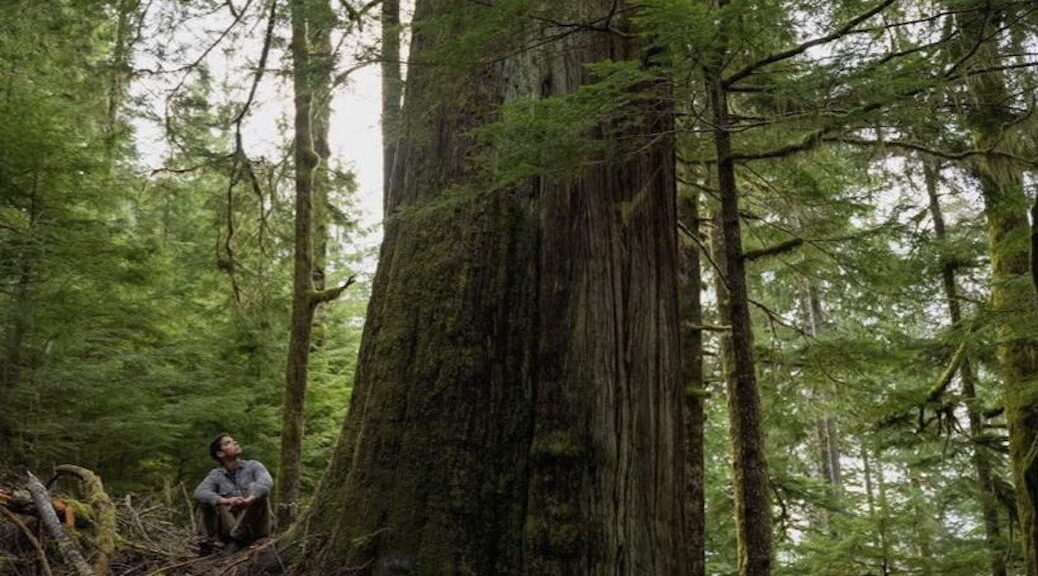 Man in forest looking up a huge old growth tree
