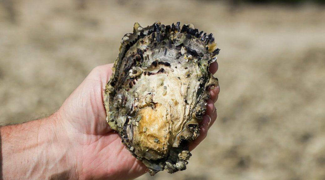 An oyster shell in someone's hand