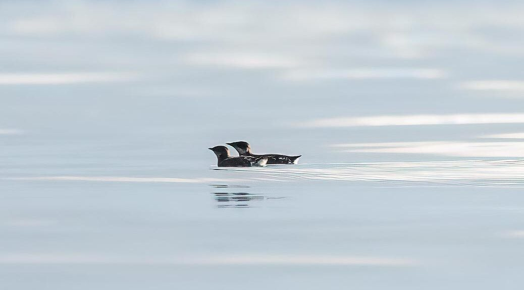 Adult marbled murrelets on the ocean.